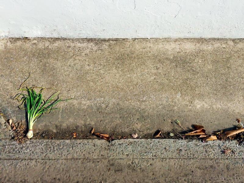 Oignon vert sec sur le ciment sale photo stock