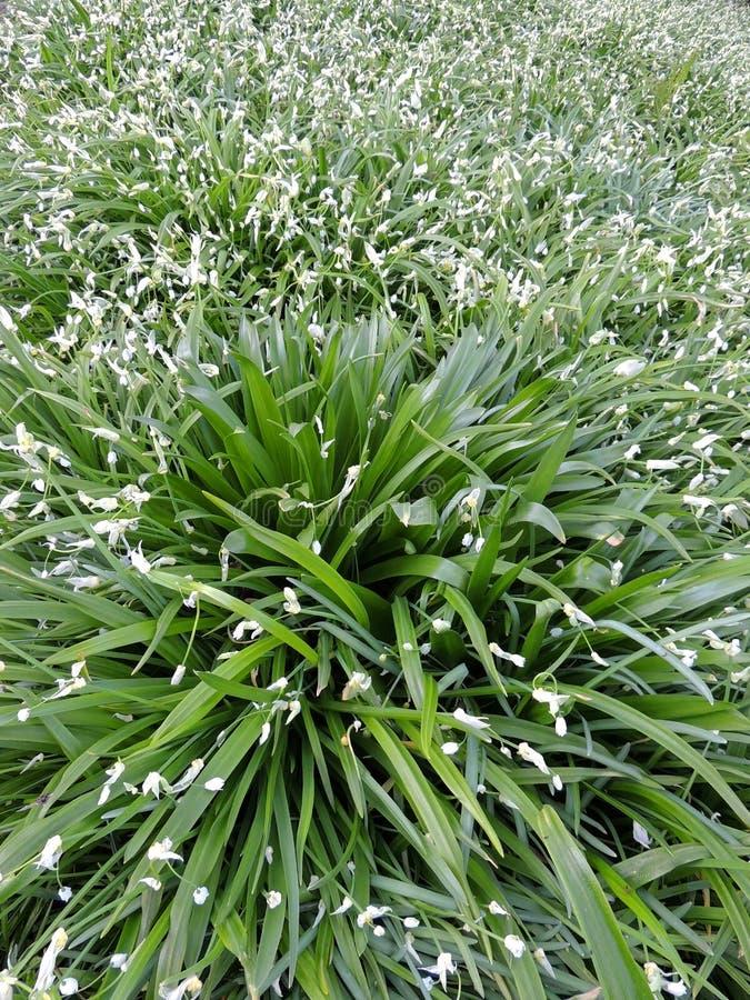 Oignons étranges, paradoxum d'allium, pendant la floraison image stock