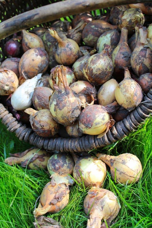 Download Oignons image stock. Image du herbe, ferme, moisson, oignons - 76079881