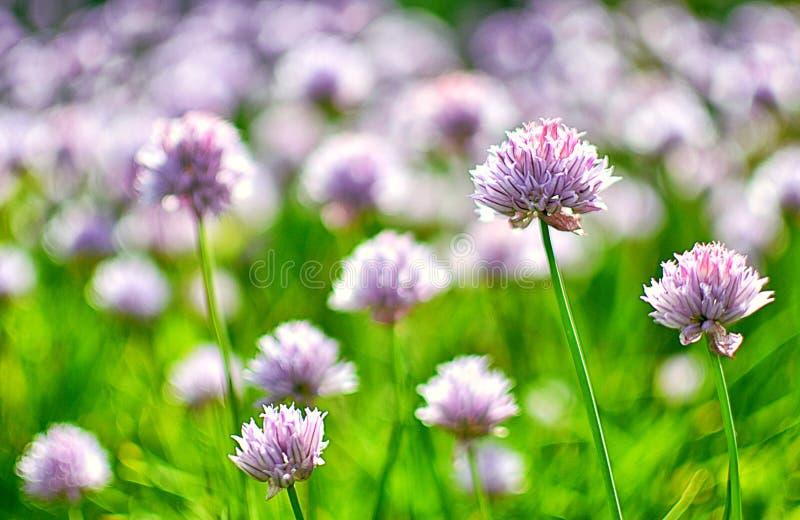 Oignons fleurissants photographie stock libre de droits