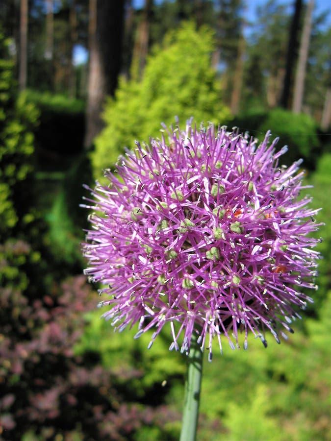 Oignons fleurissants photo stock
