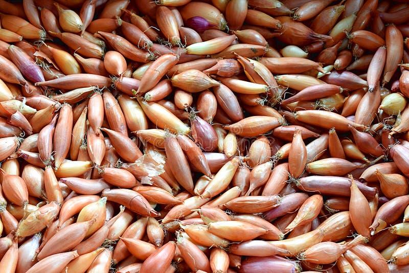 Oignons pour l'ensemencement Matière végétale Fond végétal image stock