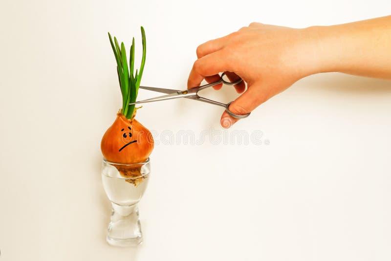 Oignons pouss?s Visage perplexe La main veut couper des verts photographie stock libre de droits