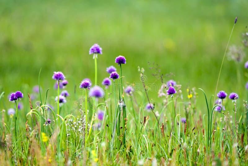 Oignons verts fleurissant avec les fleurs pourpres vibrantes images stock