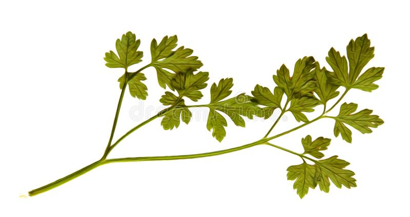 Oil draw illustration of set dry pressed scattered green parsley. Leaves, isolated with shadow. Photo manipulation vector illustration