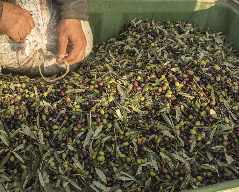Oil and olives Cilento. Campania. Aquara (It). Extra virgin olive. Production Stage. delivery of the olives. stock images