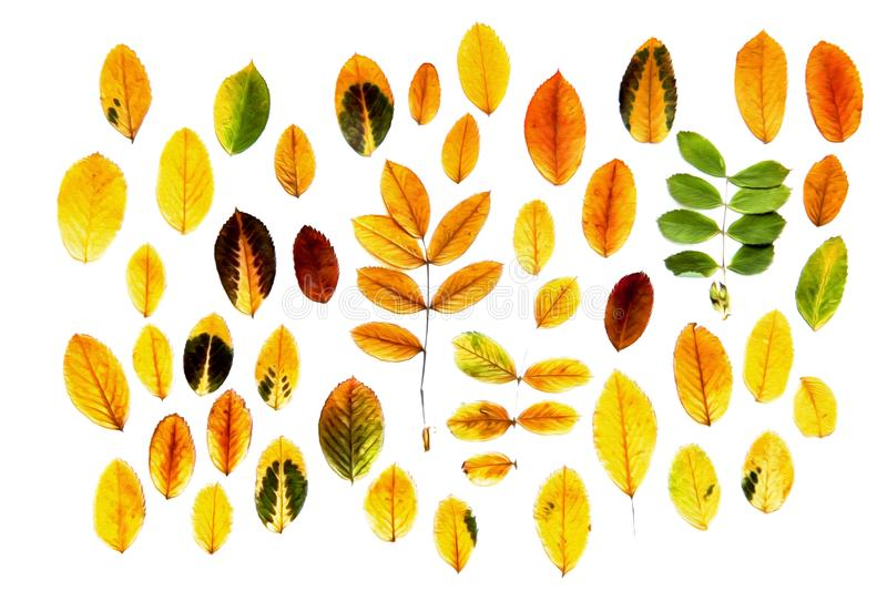 Oil paint dry fall leaf rowanberry bright colors, isolated autumn leaves on white background for scrapbook, draw object royalty free illustration
