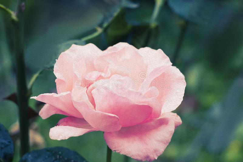 Oil painting rose flower. floral illustration , Leaf and bud. Botanic composition for greeting card.  royalty free stock image