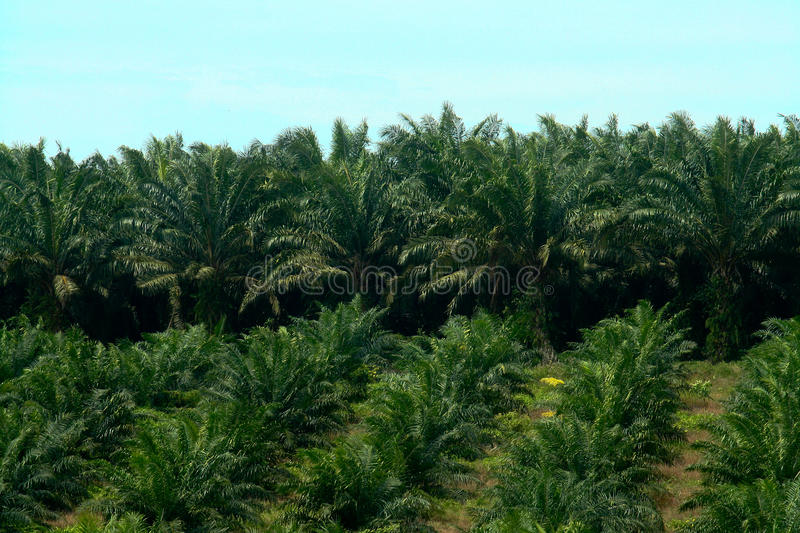 Oil Palm Estate stock images