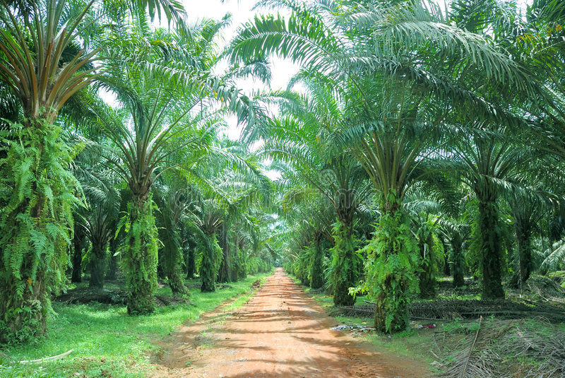 Oil Palm Estate. Tropical Oil Palm Farm Estate royalty free stock photography