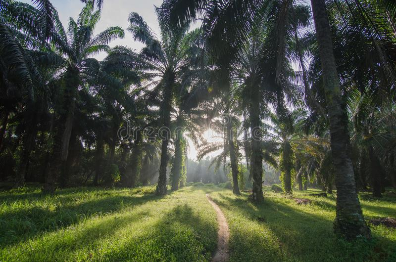 Oil palm estate with back light in the morning. stock image