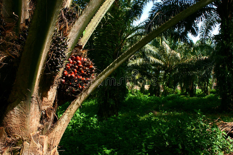 Oil Palm Fruit on palm tree. Awaiting to be harvested stock images