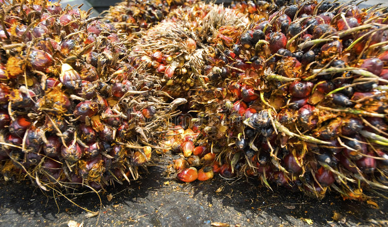 Download Oil Palm Fruits stock photo. Image of seeds, seed, tropical - 14594262