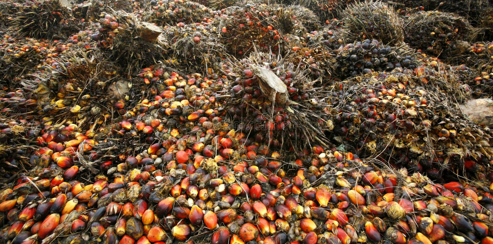 Download Oil palm fruits stock photo. Image of tree, hill, investment - 3287850