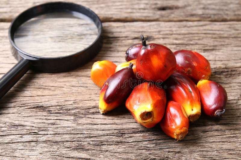 Oil palm fruits with magnifying glass - Series 5. Concept of palm oil ingredient research royalty free stock photo