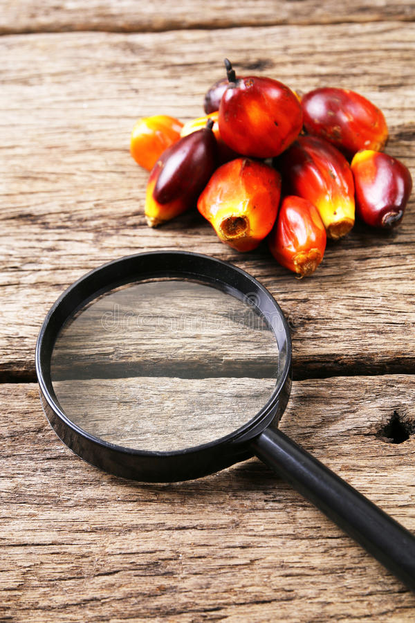 Oil palm fruits with magnifying glass - Series 4. Concept of palm oil ingredient research royalty free stock photo