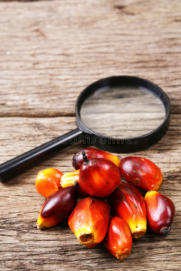 Oil palm fruits with magnifying glass - Series 3. Concept of palm oil ingredient research stock photos