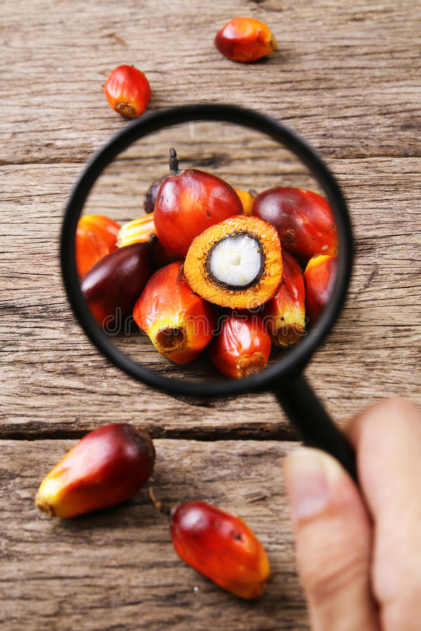 Oil palm fruits with magnifying glass - Series 2. Concept of palm oil ingredient research royalty free stock images