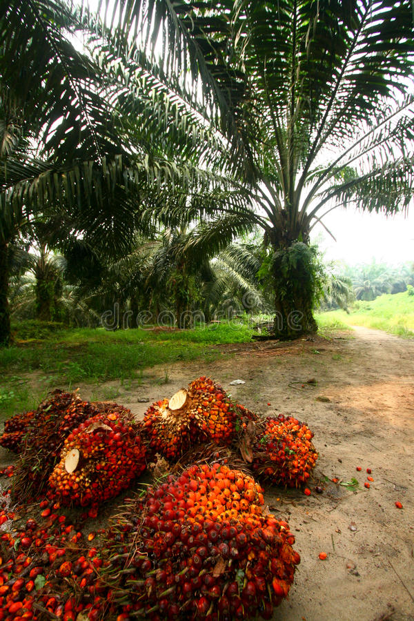 Oil Palm Fruits in Plantation royalty free stock photos