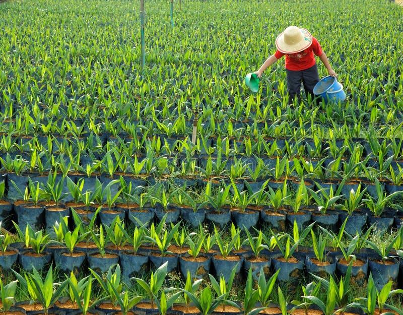 Oil palm nursery stock photography