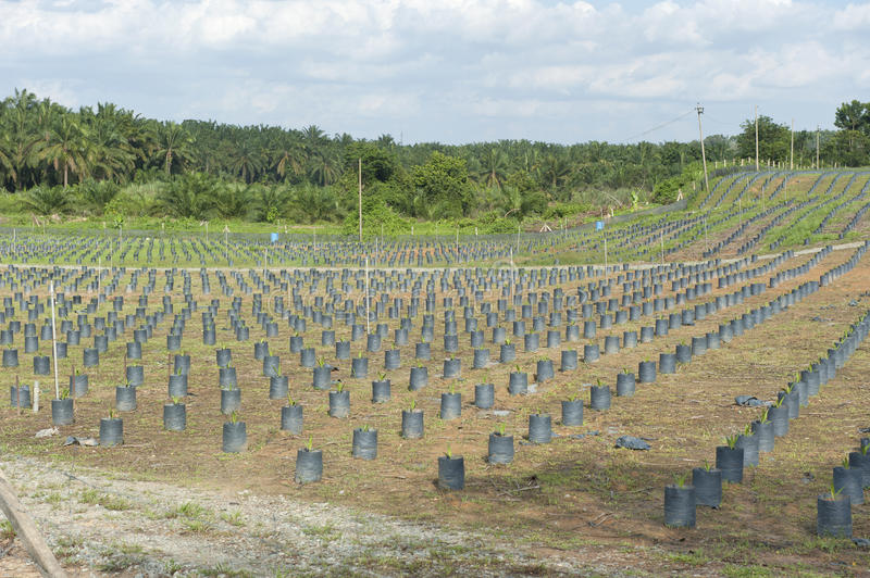 Oil palm nursery Plantation Hill. Palm oil plantations of trees-Hill stock images