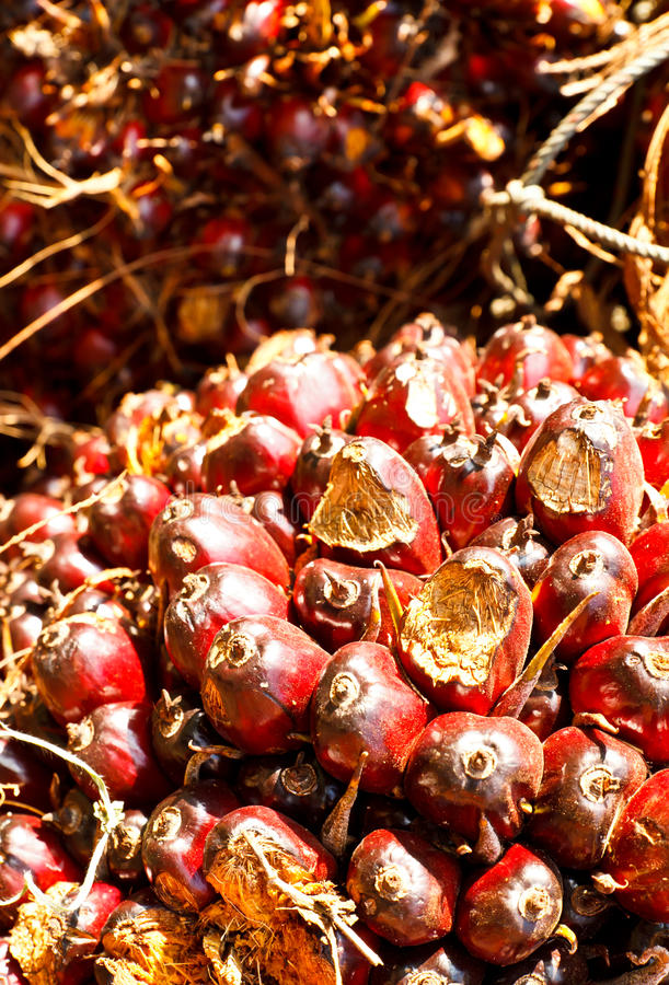 Oil palm royalty free stock images