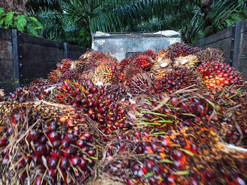 Palm oil or Oil palm plantation at Sebatik Island, Tawau, Sabah, Malaysia. Oil palm plantation at Sebatik Island, Tawau, Sabah, Malaysia. Oil palm plantation at royalty free stock photography