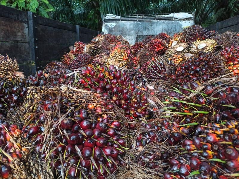 Palm oil or Oil palm plantation at Sebatik Island, Tawau, Sabah, Malaysia. Oil palm plantation at Sebatik Island, Tawau, Sabah, Malaysia. Oil palm plantation at royalty free stock photo