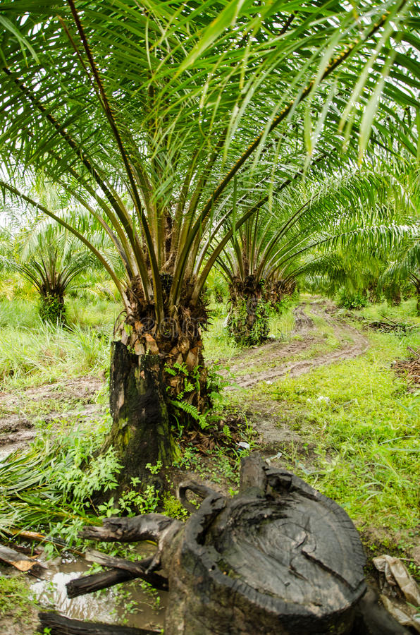 Download Oil palm plantations stock image. Image of asia, food - 33716233