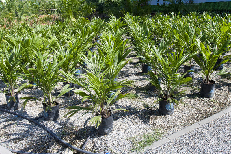 Oil palm sapling. In nursery royalty free stock image