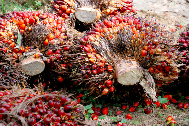 Oil Palm Seed royalty free stock images
