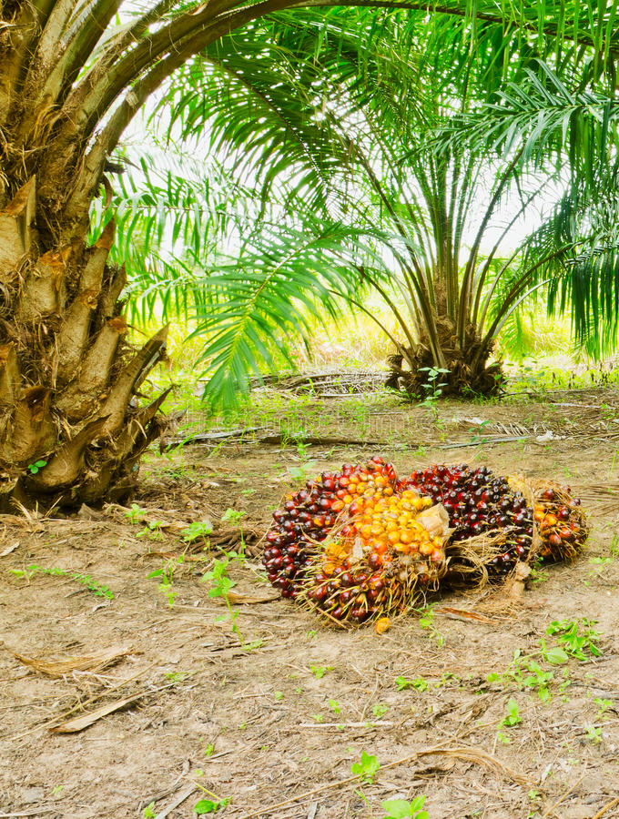 Download Oil Palm Tree Stock Photo - Image: 30498540