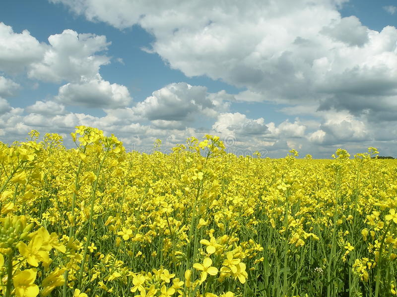 Download Oil Fields stock image. Image of agriculture, petal, nature - 10418787