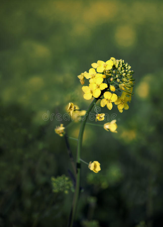 Oil seed plant stock photos