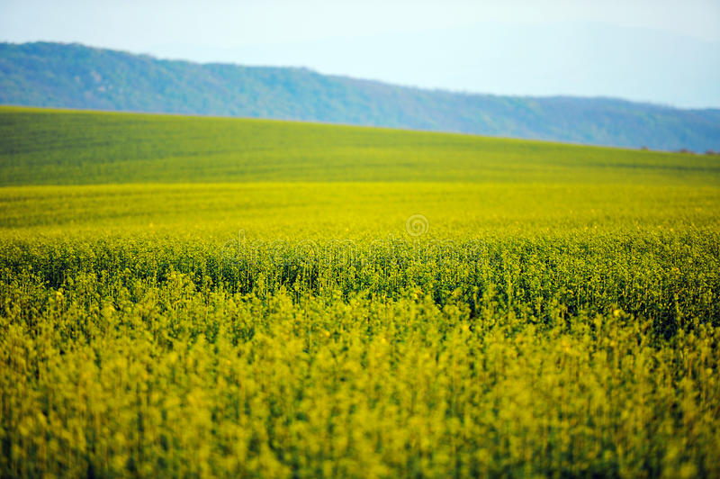 Oil seed landscape with shallow depth of field royalty free stock image