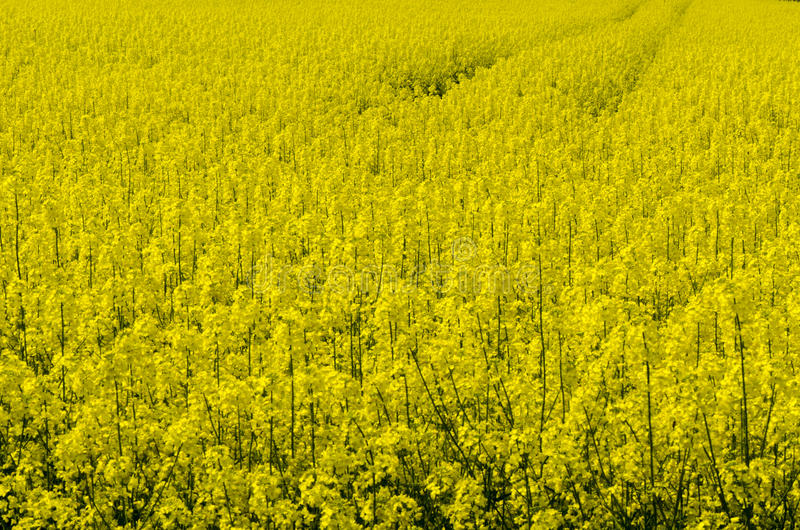 Oil seed field royalty free stock photography