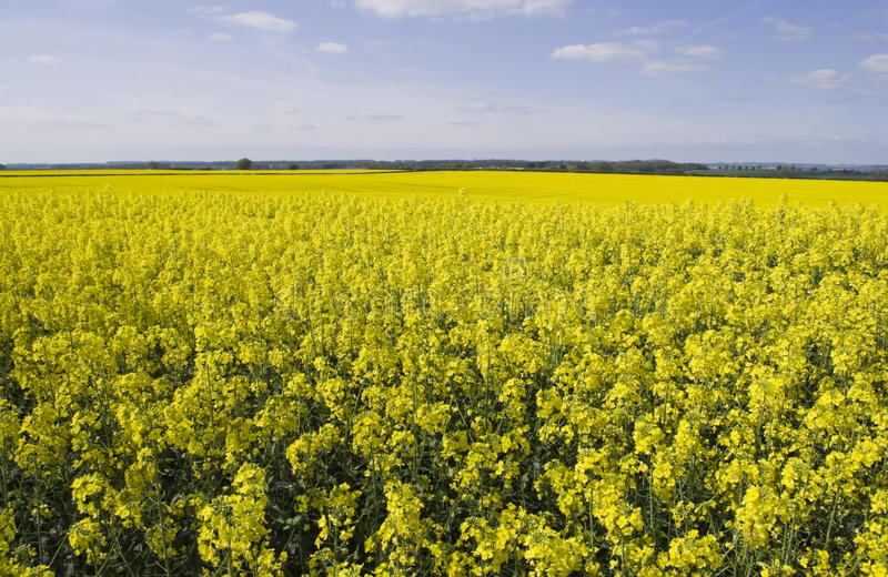 Oil Seed Fields. Landscape image of oil seed fields in flower. Showing the extent it is now grown, as a vegetable oil to be used in the food and production stock photography