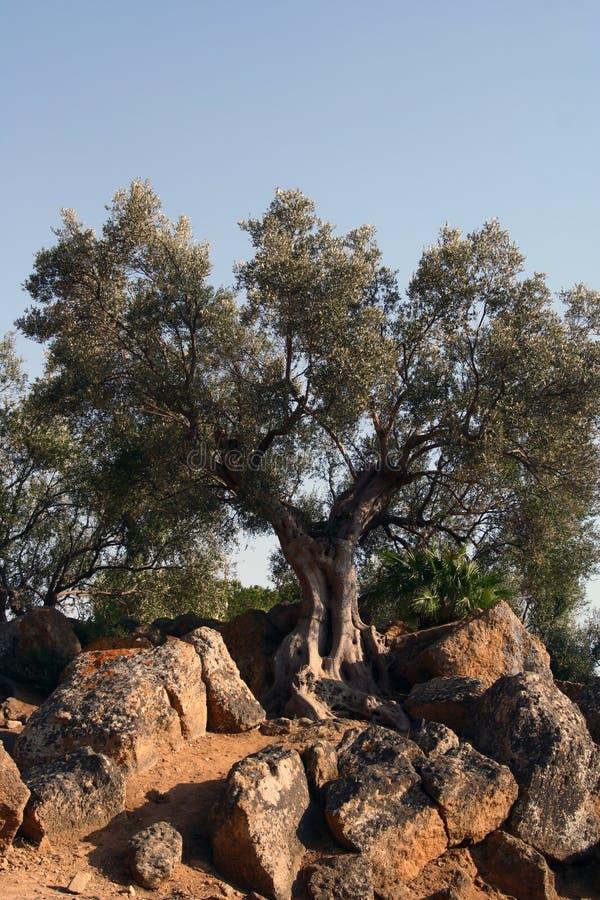 Free Oil Tree In Sicily Stock Photos - 3186973