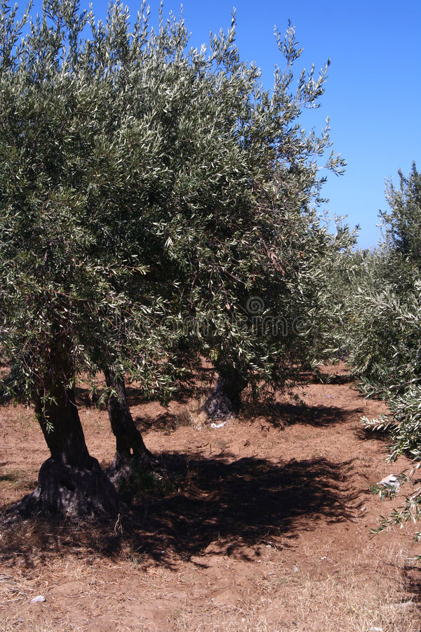Free Oil Tree In Sicily Stock Image - 3187011