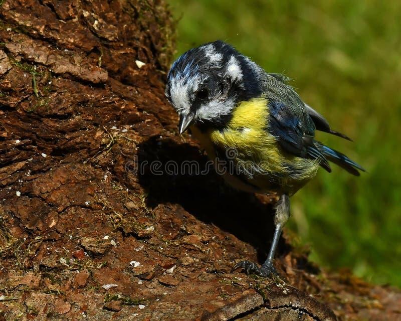 Oil victim European Blue Tit, Cyanistes caeruleus royalty free stock images