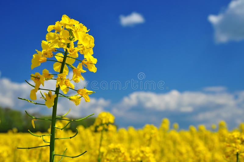 Oilseed agriculture stock photography