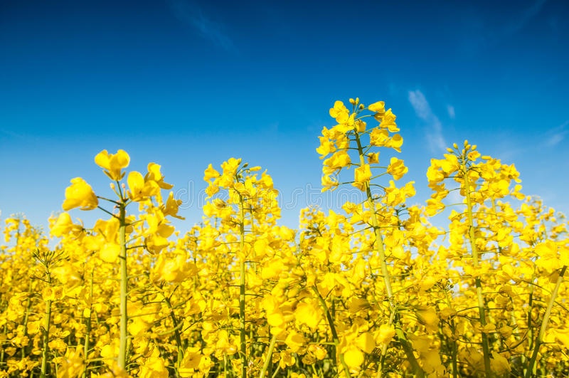 Oilseed gwałt, Canola, biodiesel uprawa obraz royalty free