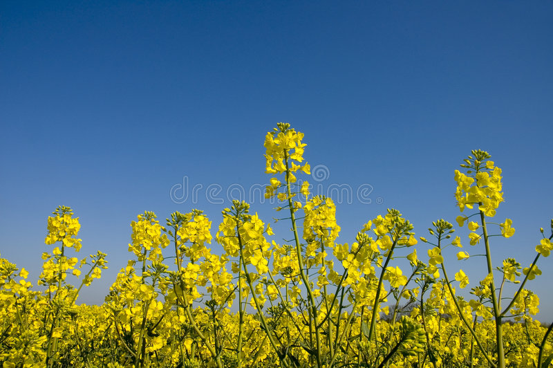 Download Oilseed 1 stock image. Image of summer, agriculture, crop - 110195