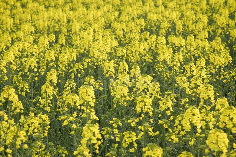Oilseed field stock images