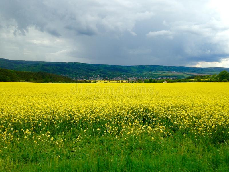 Oilseed field royalty free stock images