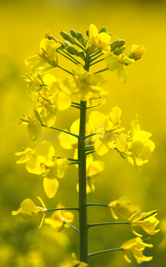 Oilseed rape plant closeup