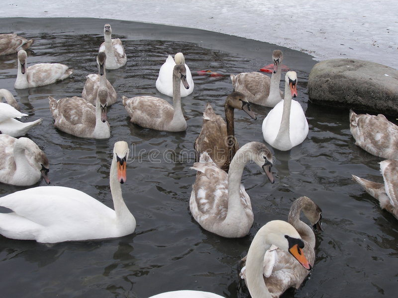 Oily swan between others stock photos