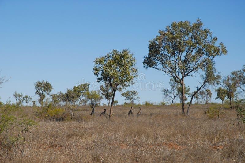 Ointressant torrt landskap, vildmark Queensland, Australien royaltyfri bild