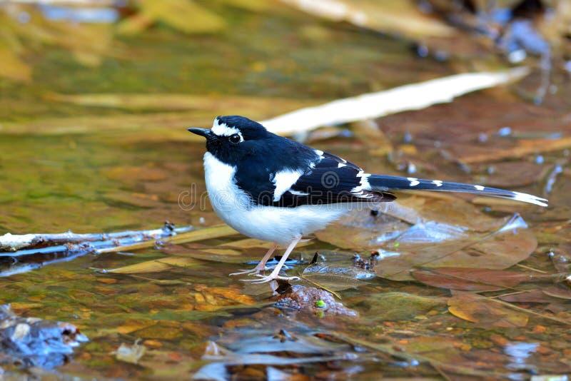 Oiseau à dos noir de Forktail photos libres de droits