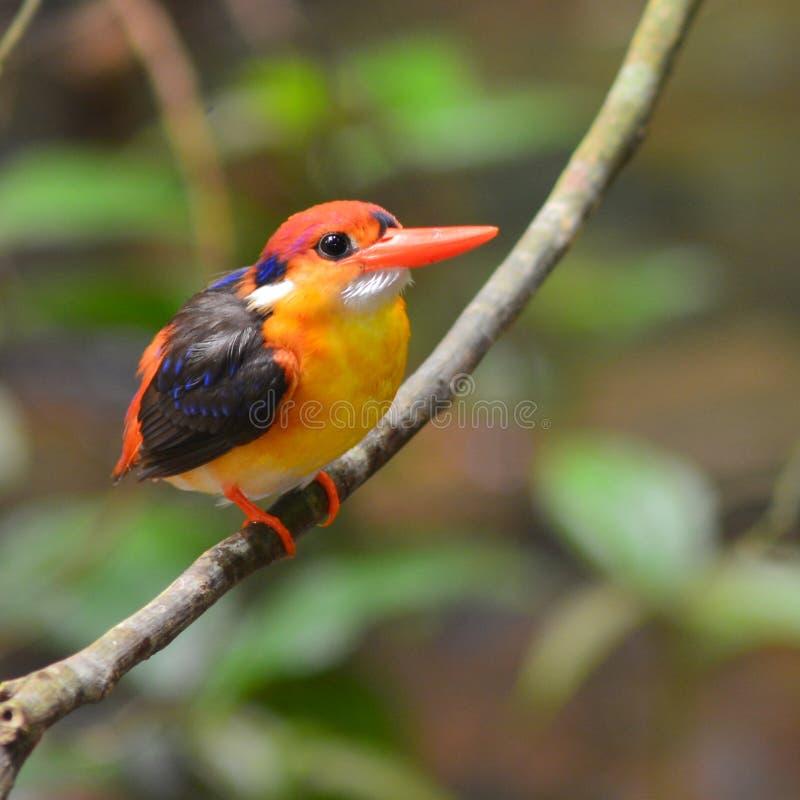 Oiseau à dos noir de martin-pêcheur photos libres de droits